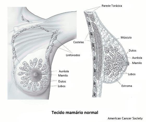 tecido mamário normal