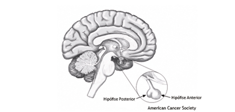 Glândula Pituitária