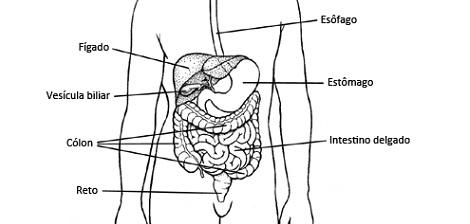 O trato gastro intestinal