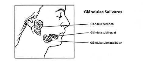 O que são as glândulas salivares?