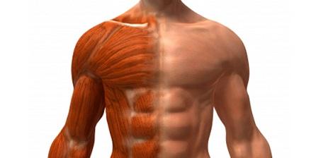 Os músculos: conheça seu corpo