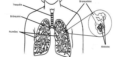 Os pulmões: conheça seu corpo